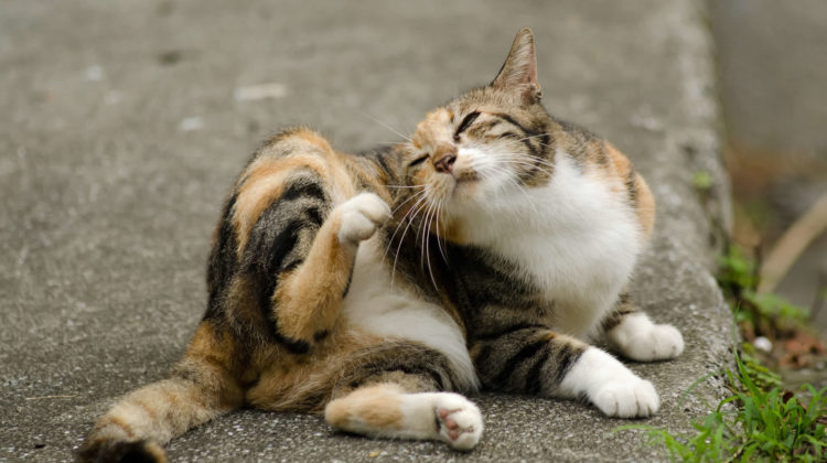 Cat Flea Infestation