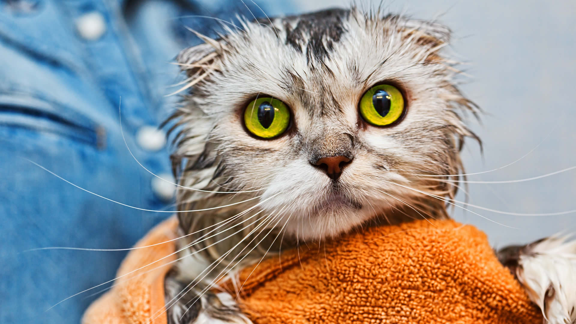Washing a Cat