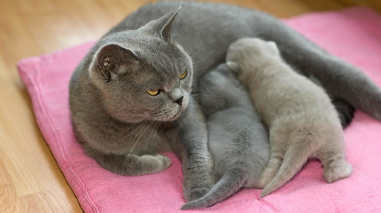 Can cats get pregnant while nursing