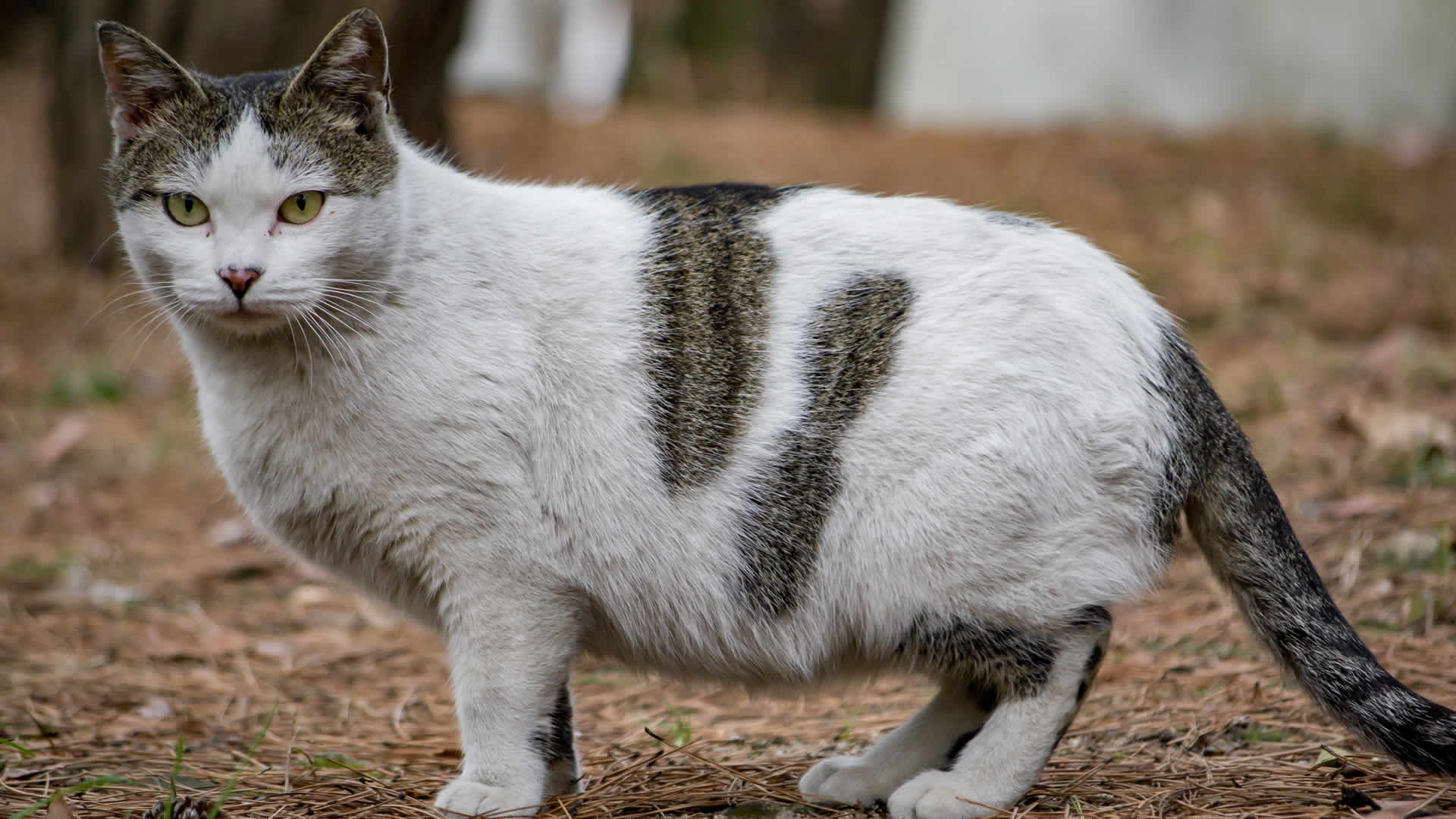 Can cats mate when pregnant