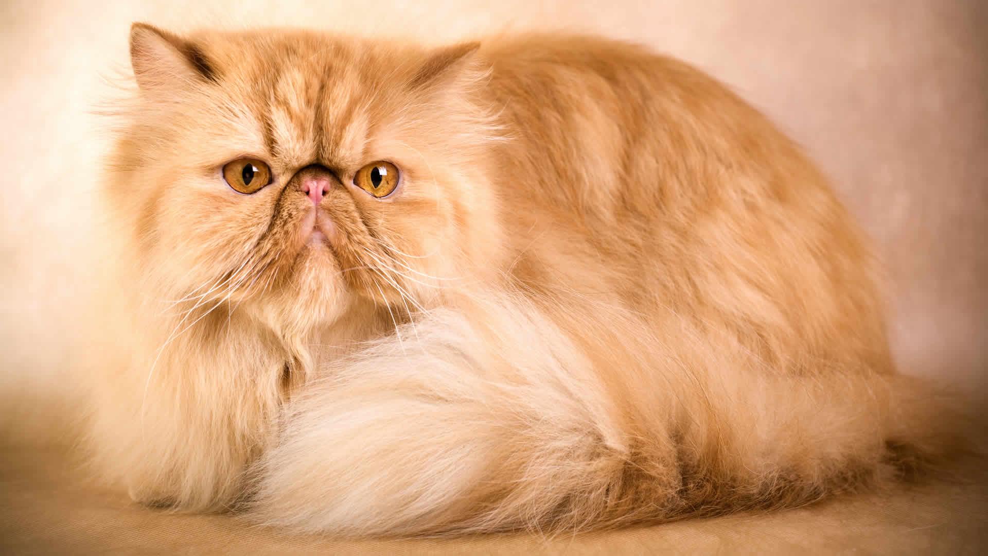 Peke-faced Persian