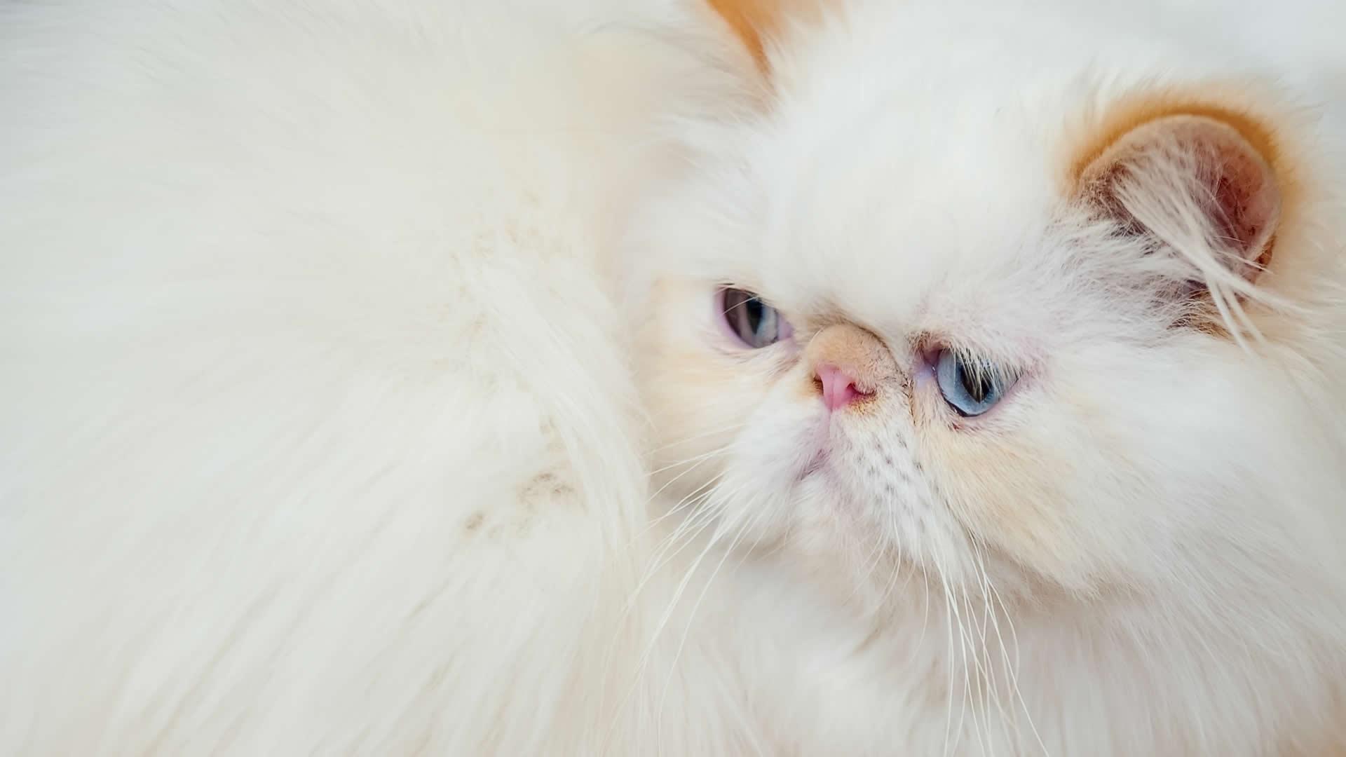Peke-faced, ultra Persian