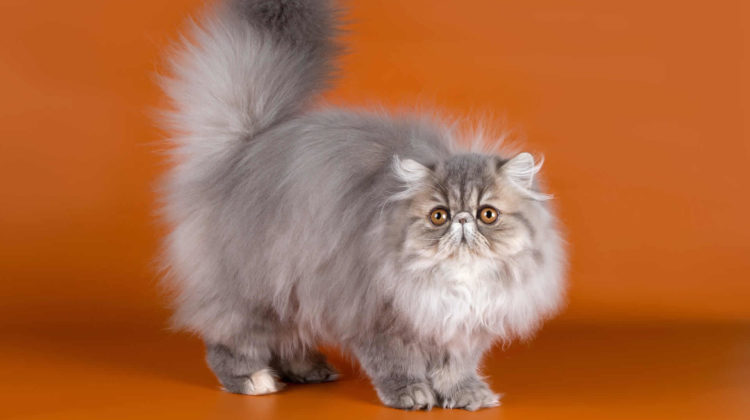 Persian cats: History, appearance, personality