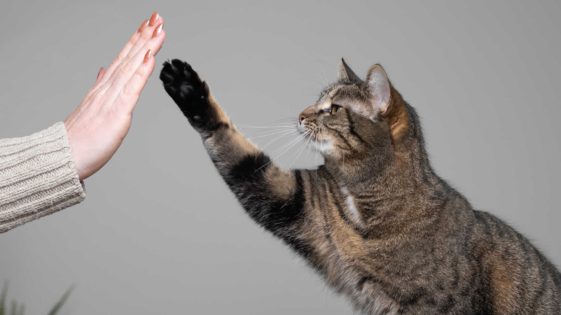 Training cat to high-five