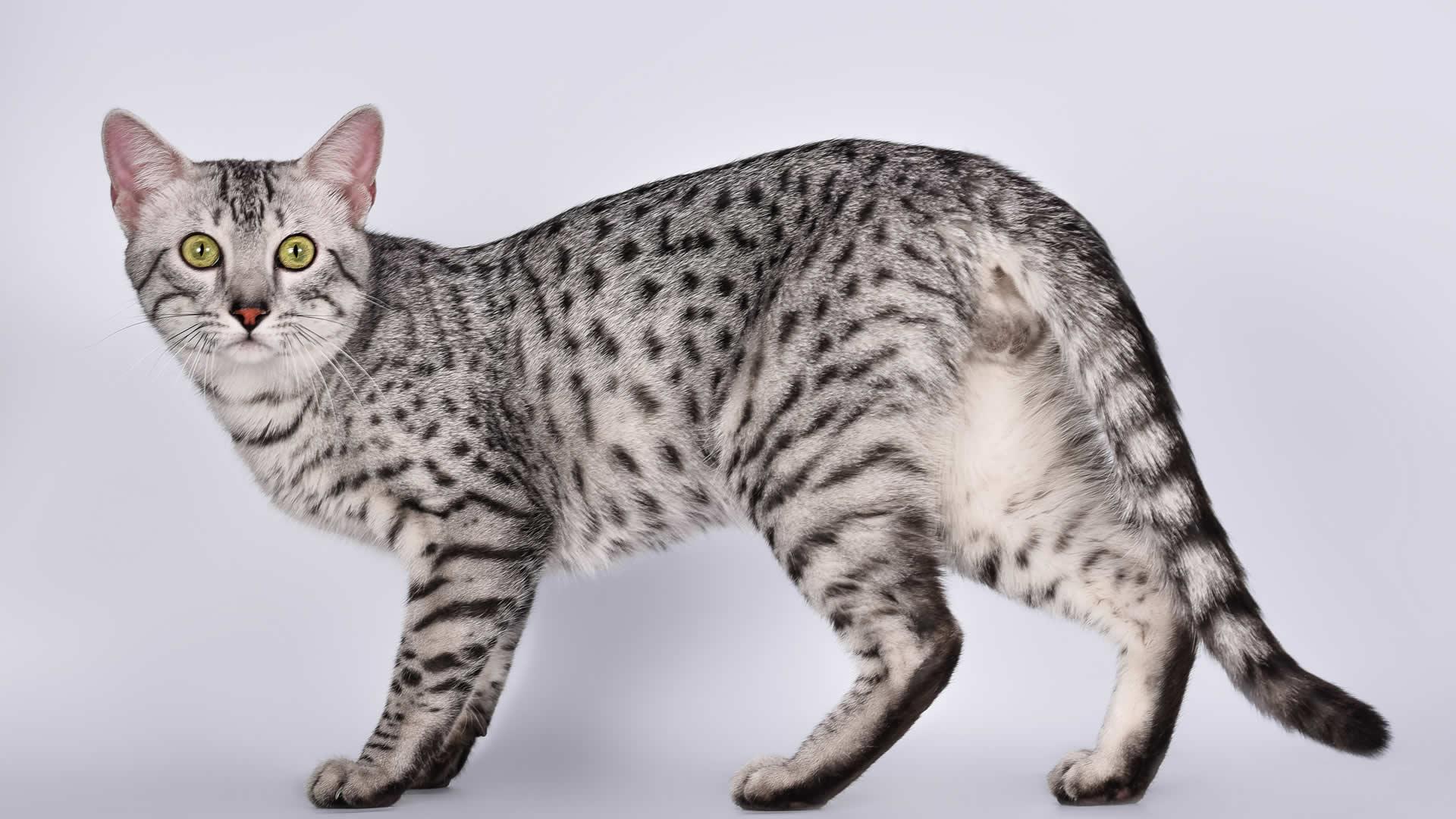 Egyptian Mau long tail cat breed