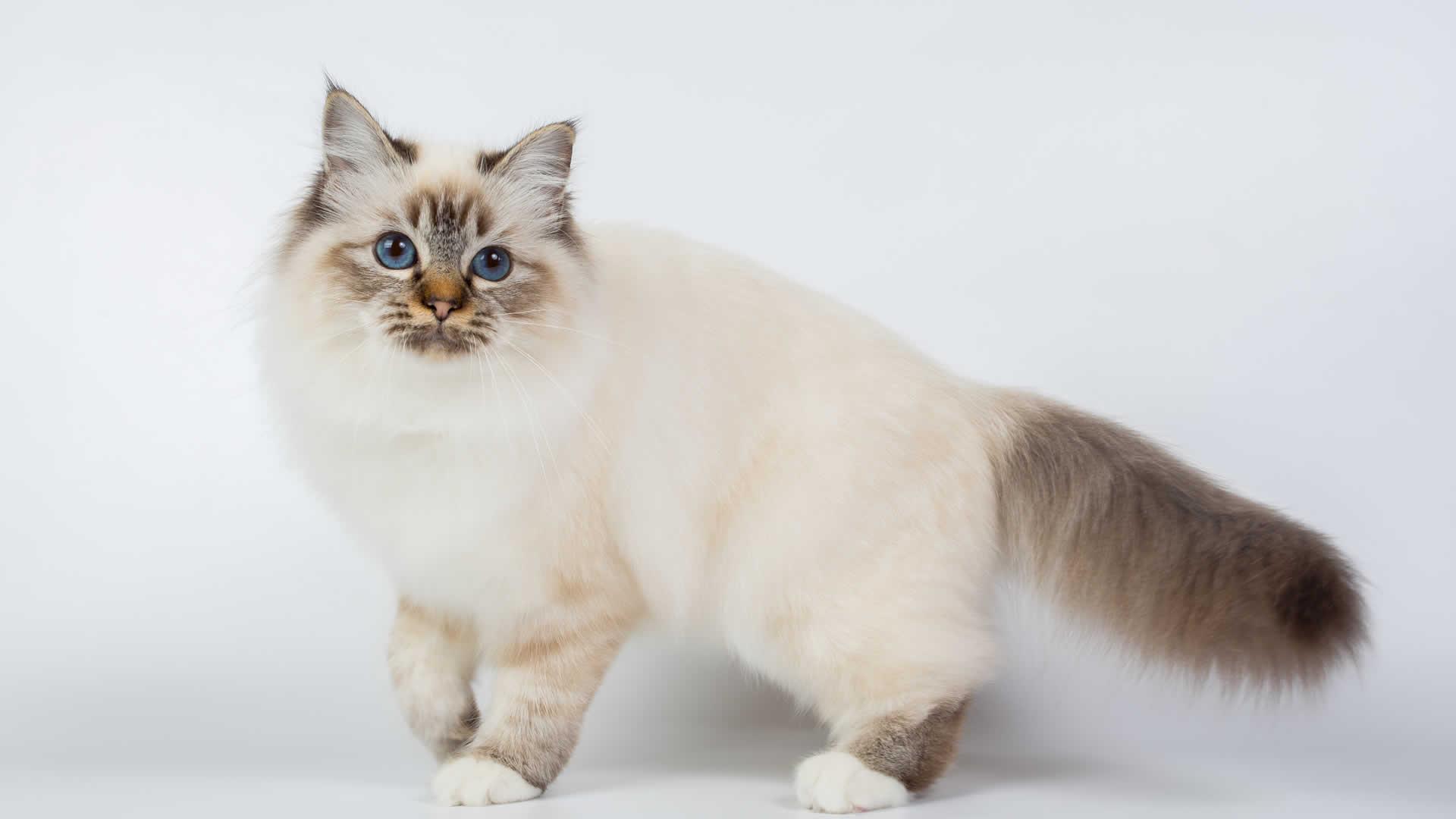 Fluffy long tailed Birman cat