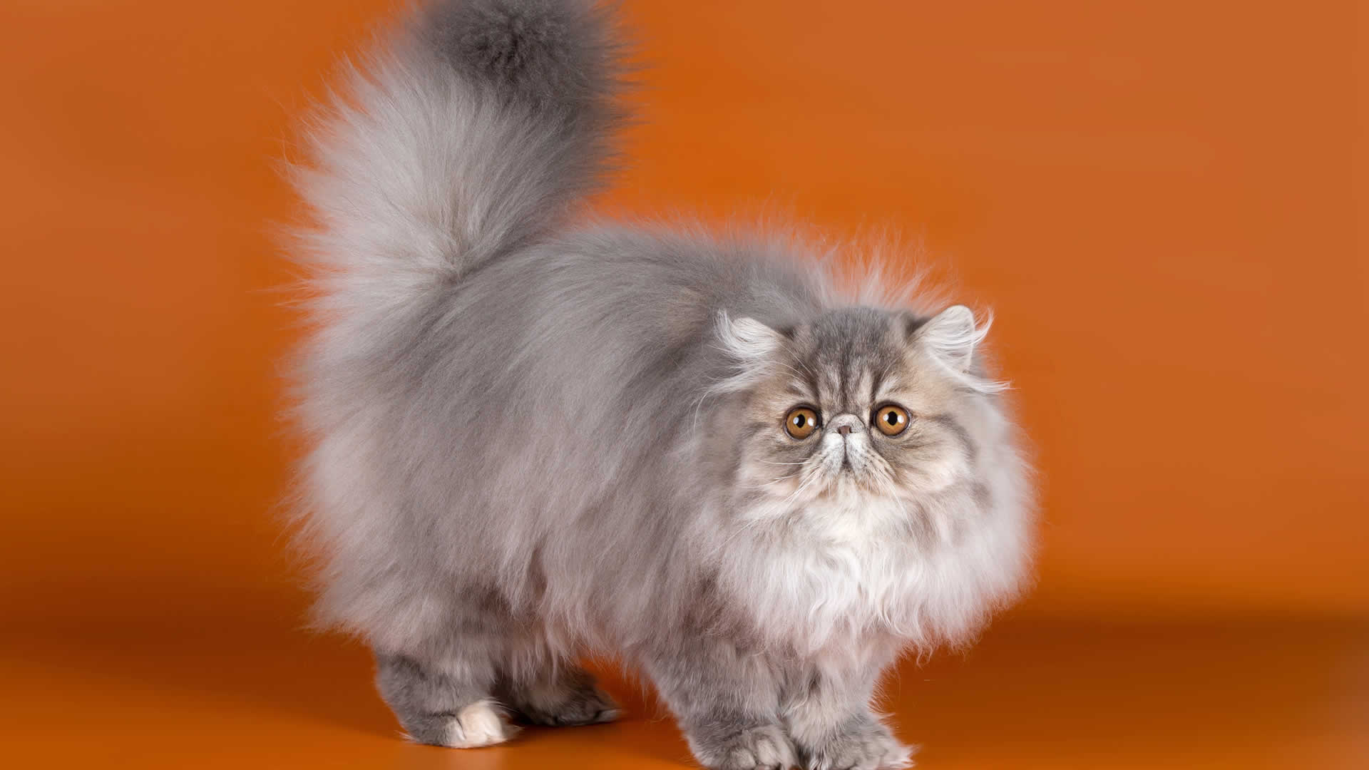 Fluffy long tailed Persian cat