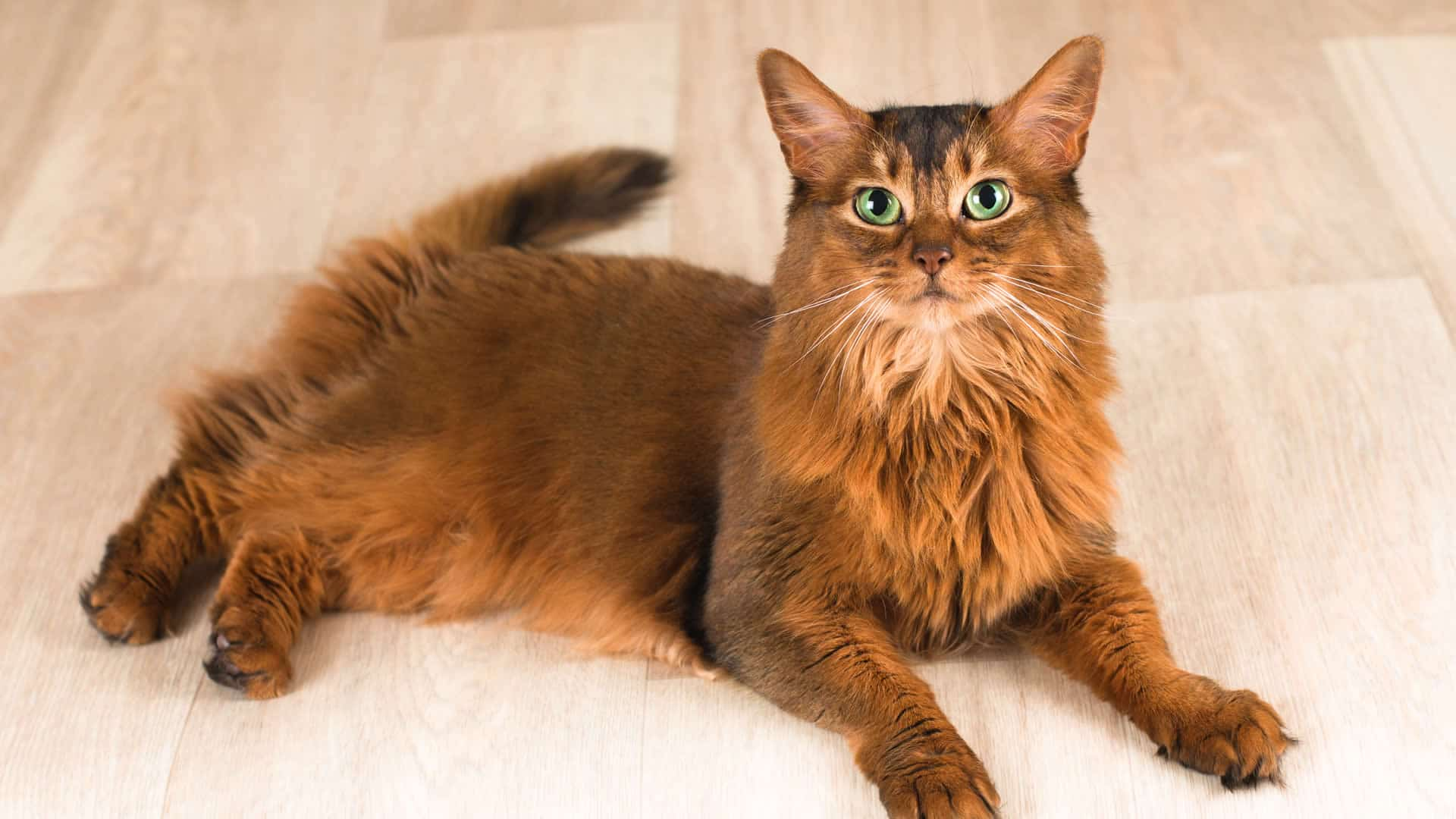 Long tail Somali cat