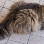 Long tail cat breeds
