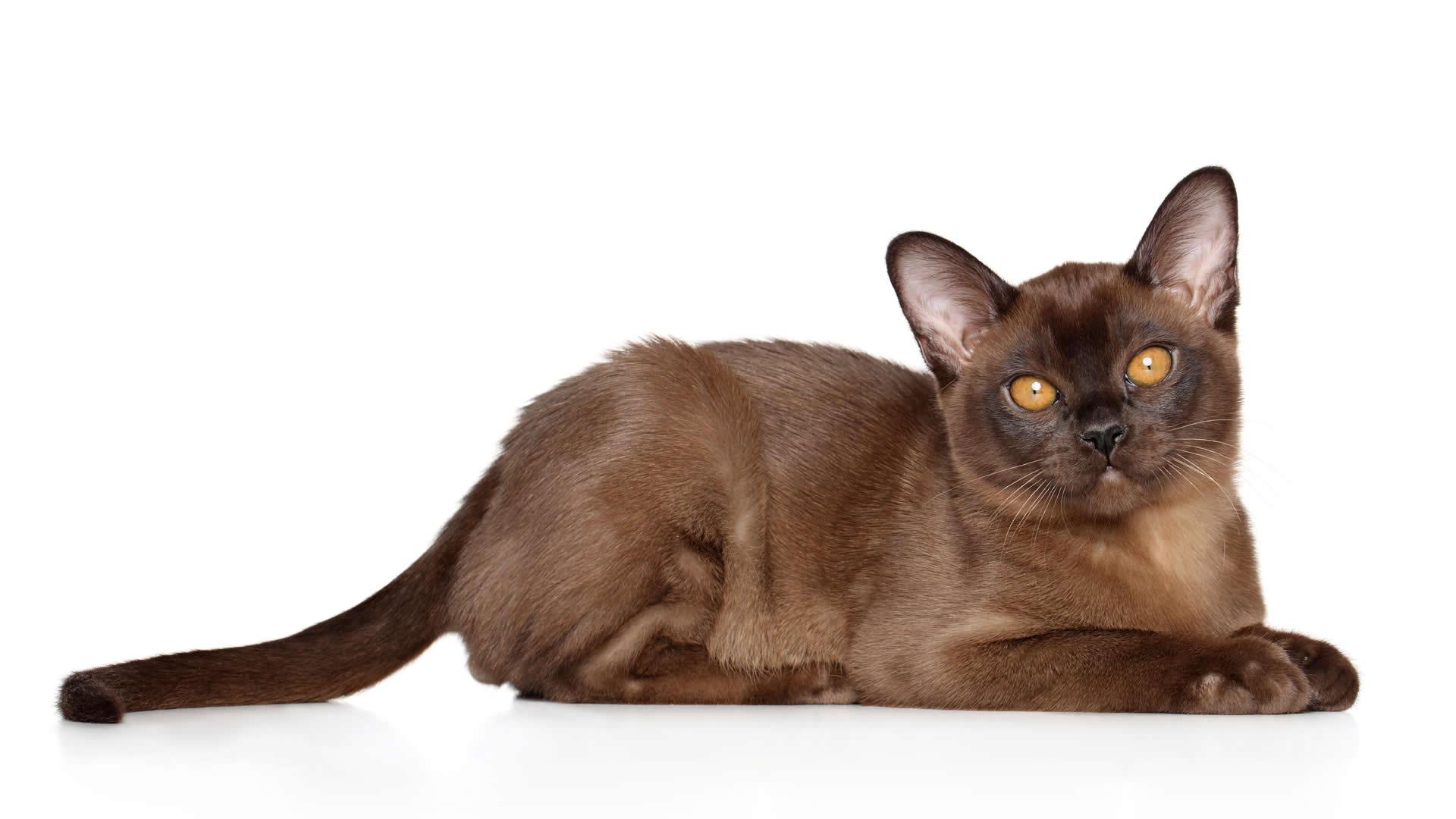 Long tailed Burmese cat