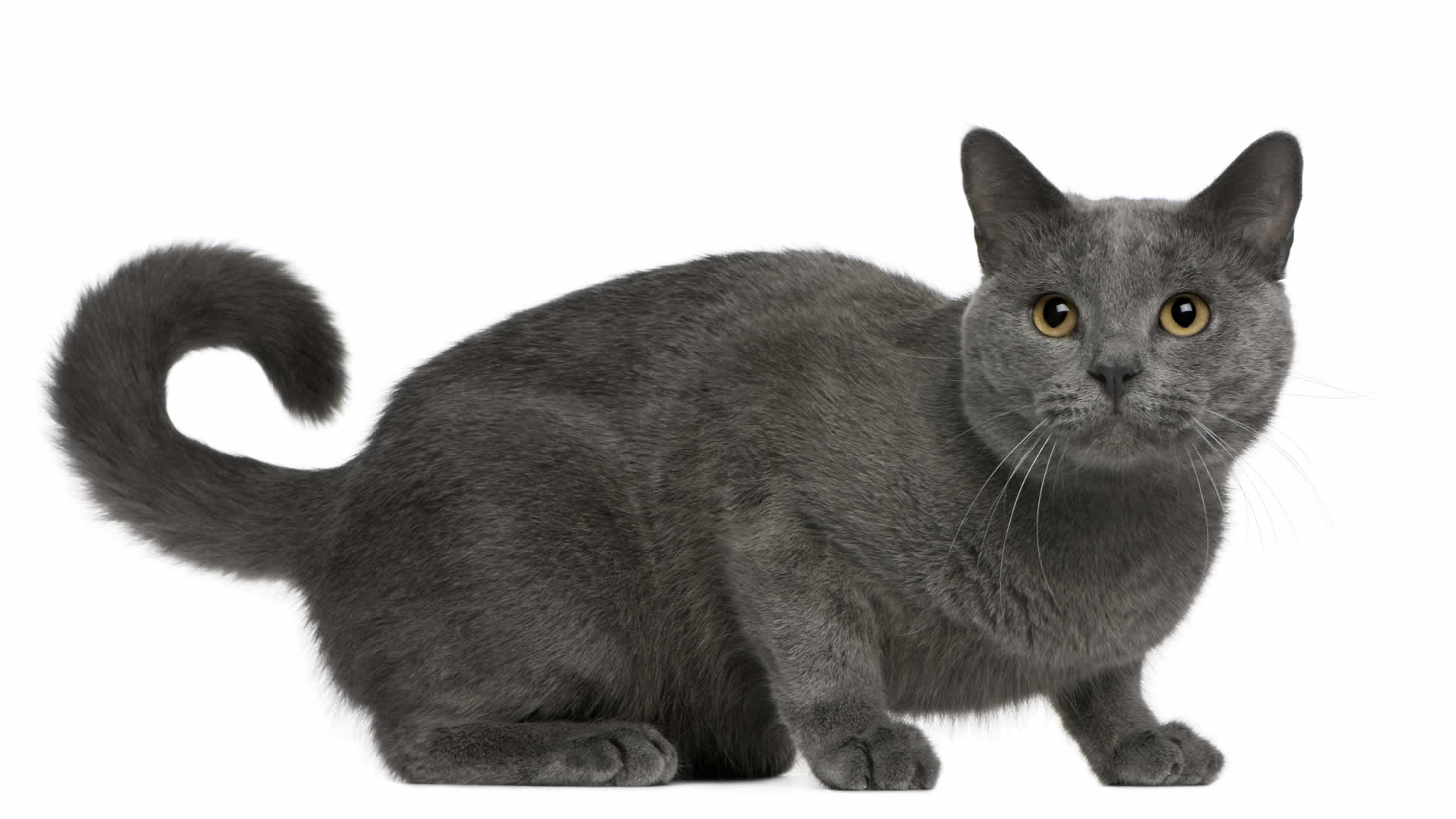 Long tailed cat breed Chartreux