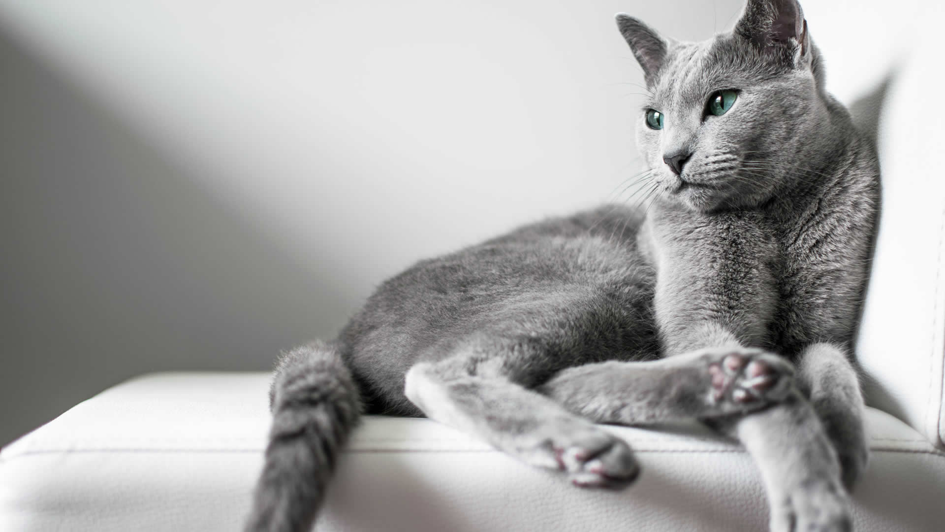 Russian Blue long tailed cat