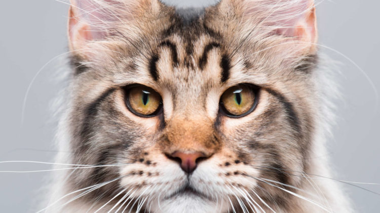 Litter Box for Maine Coon Cat