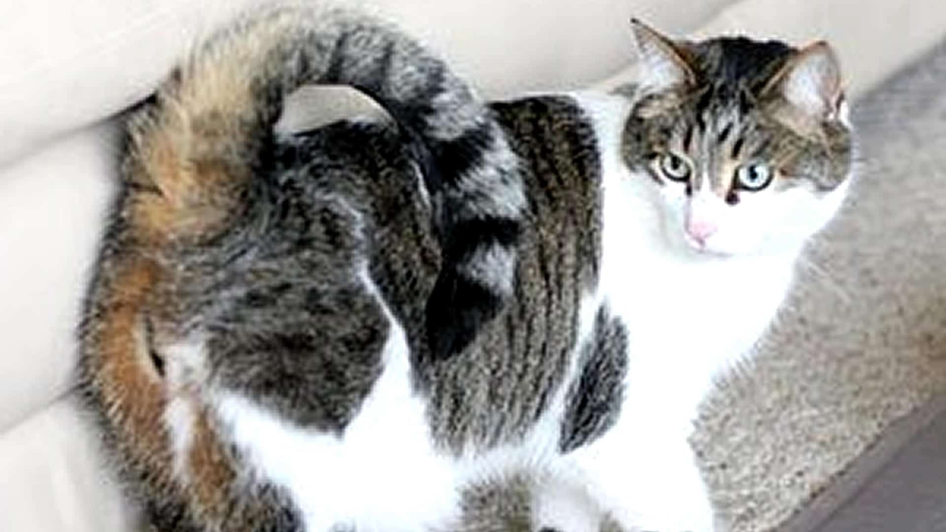 American Ringtail cat with curly tail