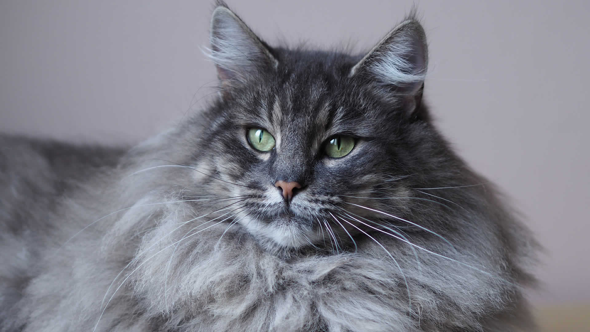 Another cat breed with a long whiskers is the Norwegian Forest Cat