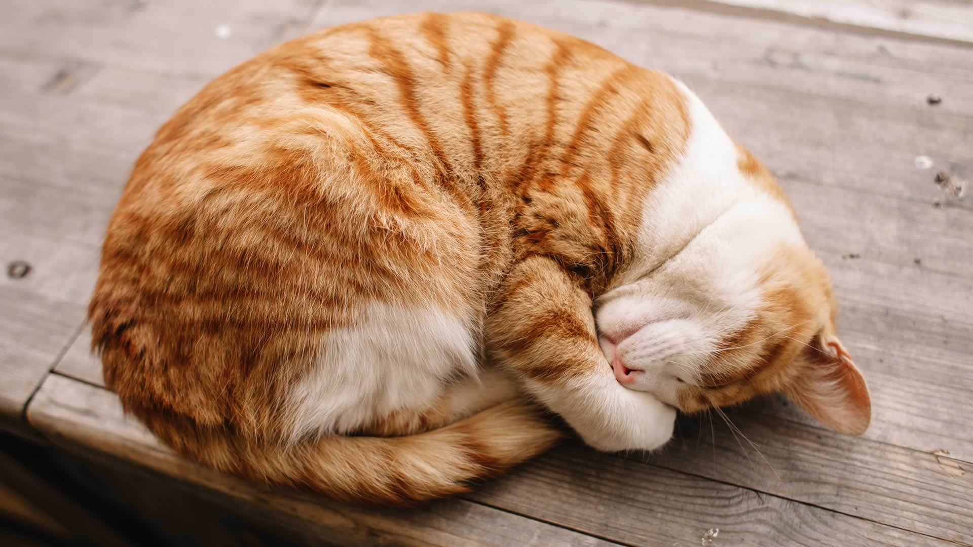 Cat sleeping in curled up in a ball position