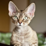 Curly Tailed Cat Breeds