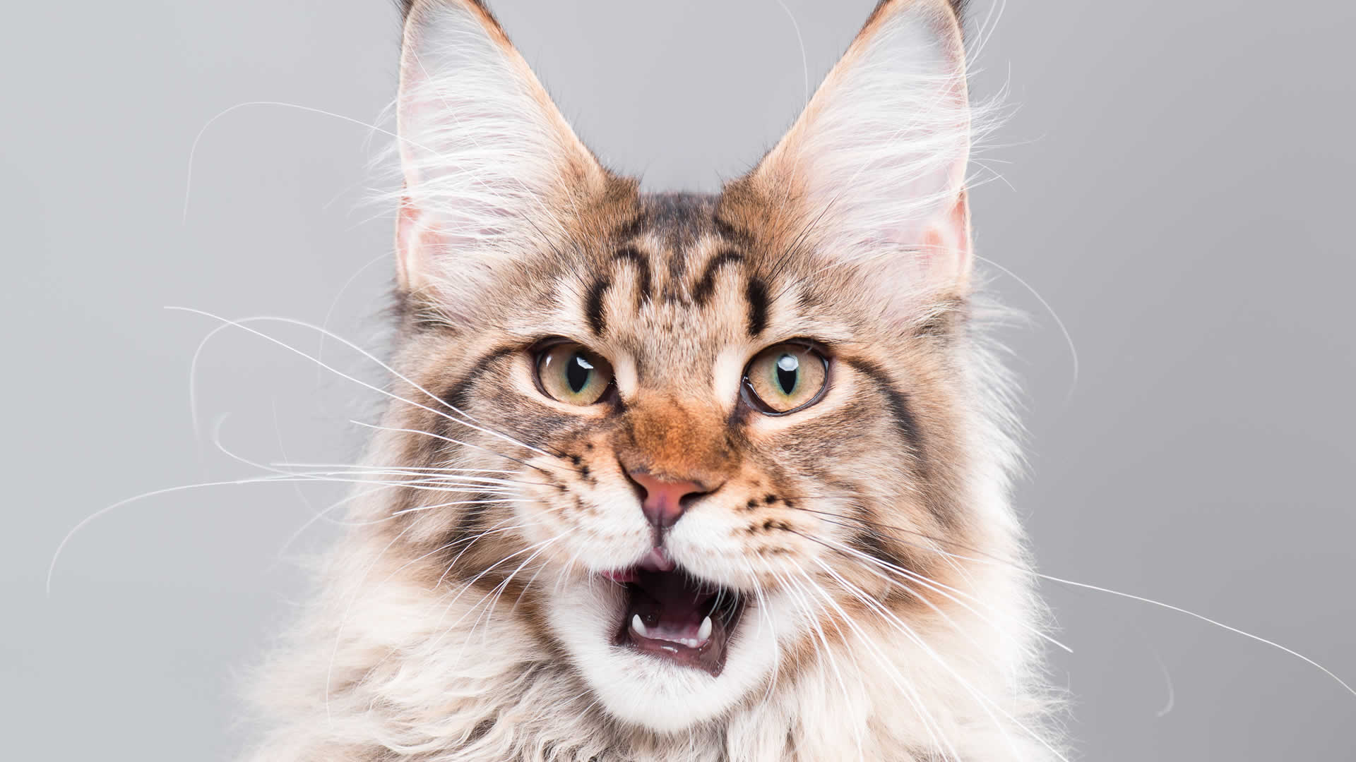Maine Coon cat with long whiskers
