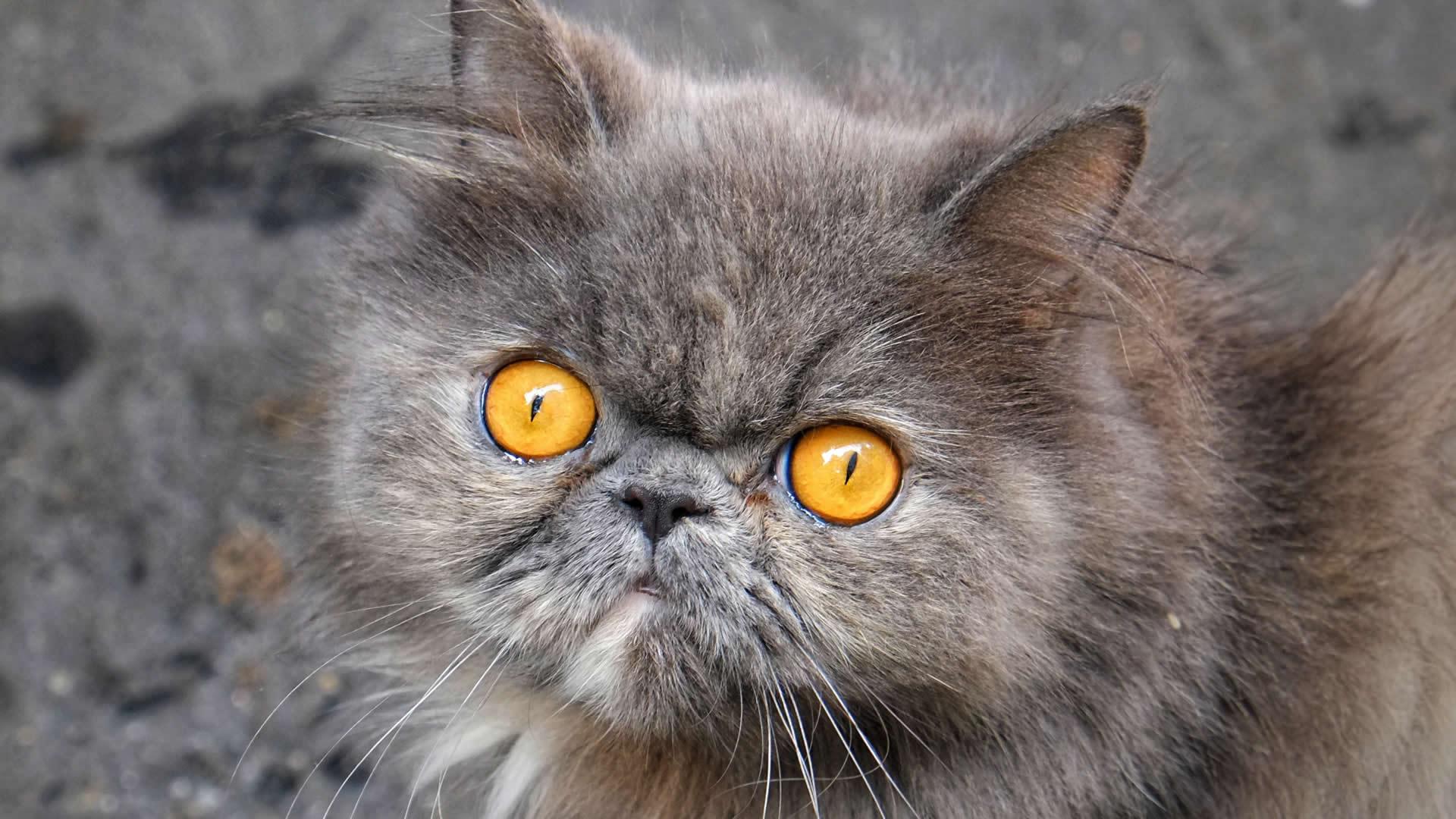 Peke face Persian cat