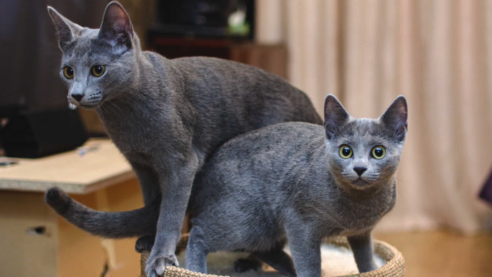 Russian Blue is one of the cat breeds with the curly tail