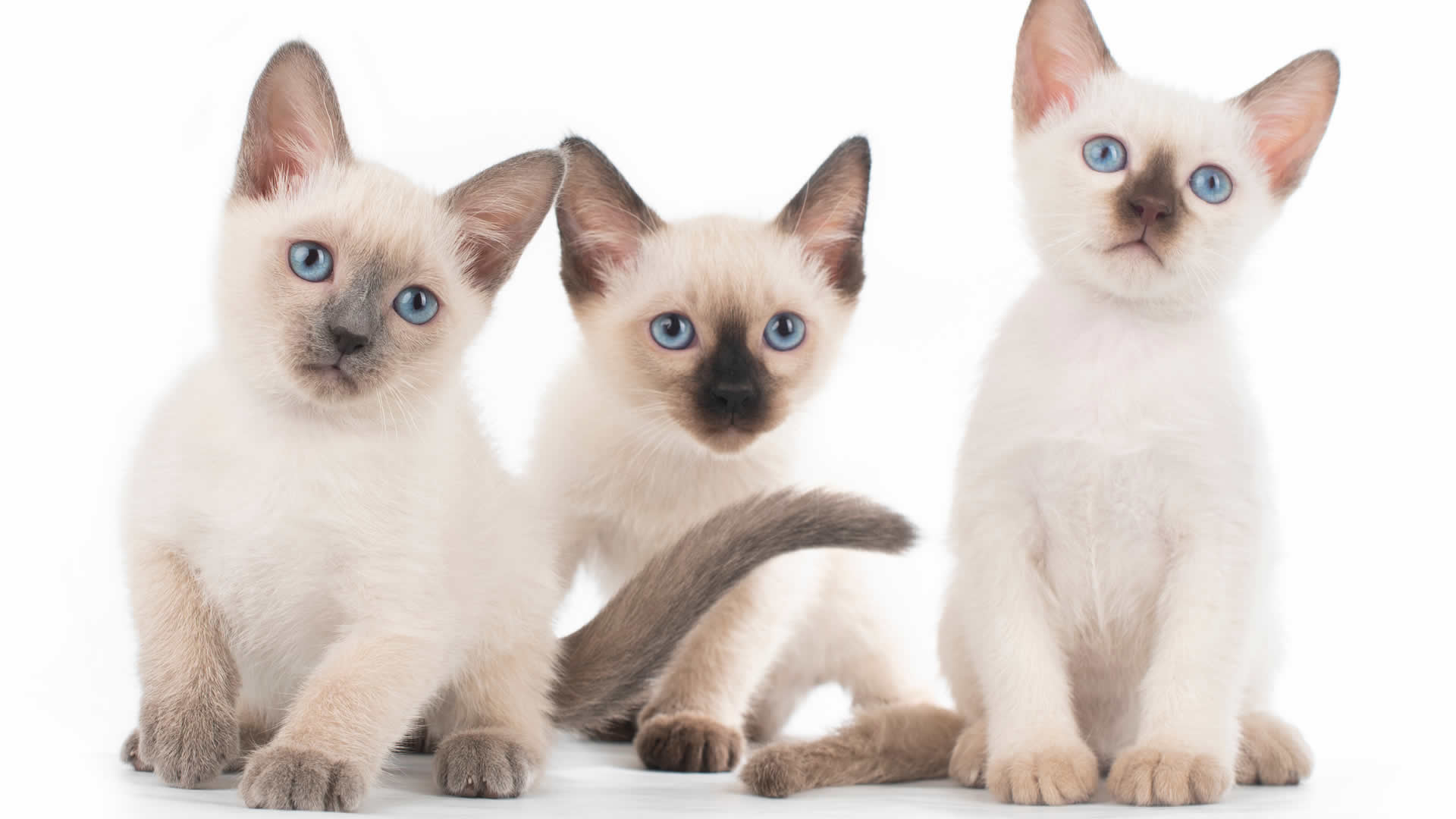 Siamese cats used to be known for their crooked eyes and curly tails