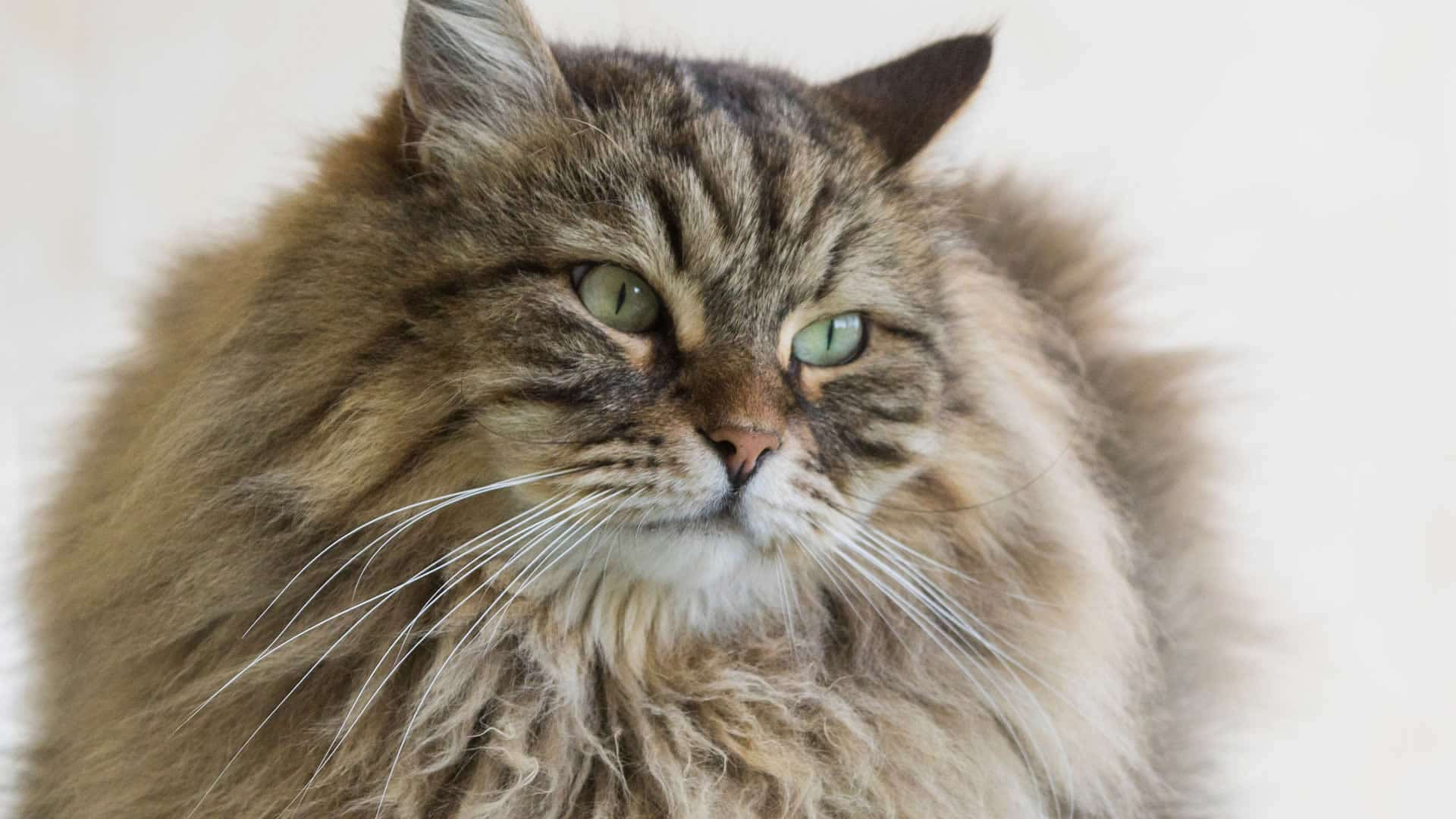 Siberian cat with thick coat and long whiskers