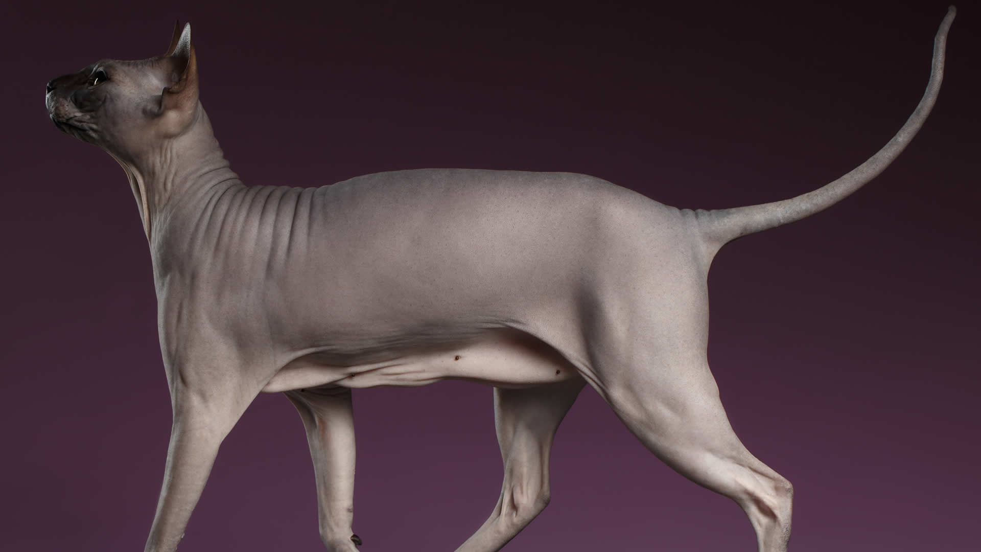 Sphynx cats don't always have curly tails