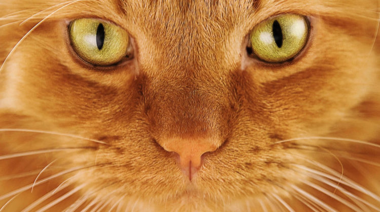 Are Orange Tabby Cats Always Male