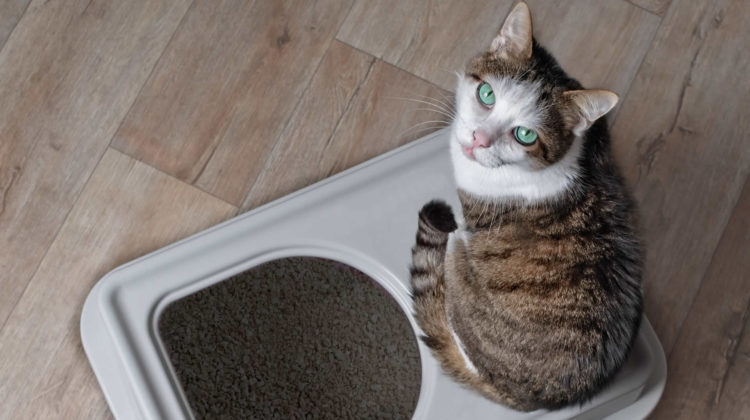 Cat Keeps Going to the Litter Box But Nothing Happens
