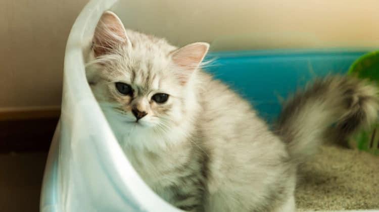 Cat Peeing Over Edge of Litter Box