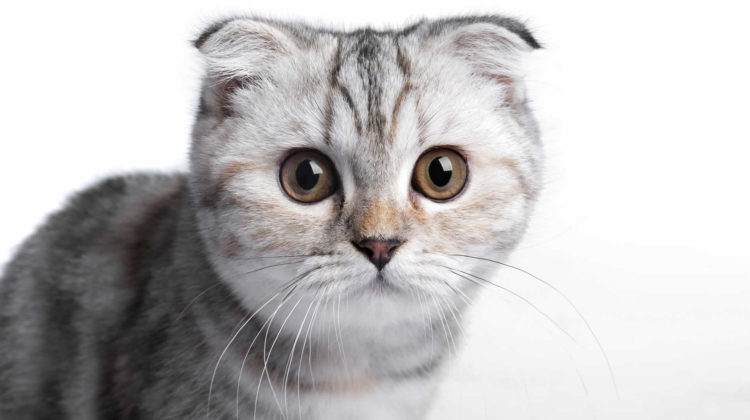 Cats With Small Ears