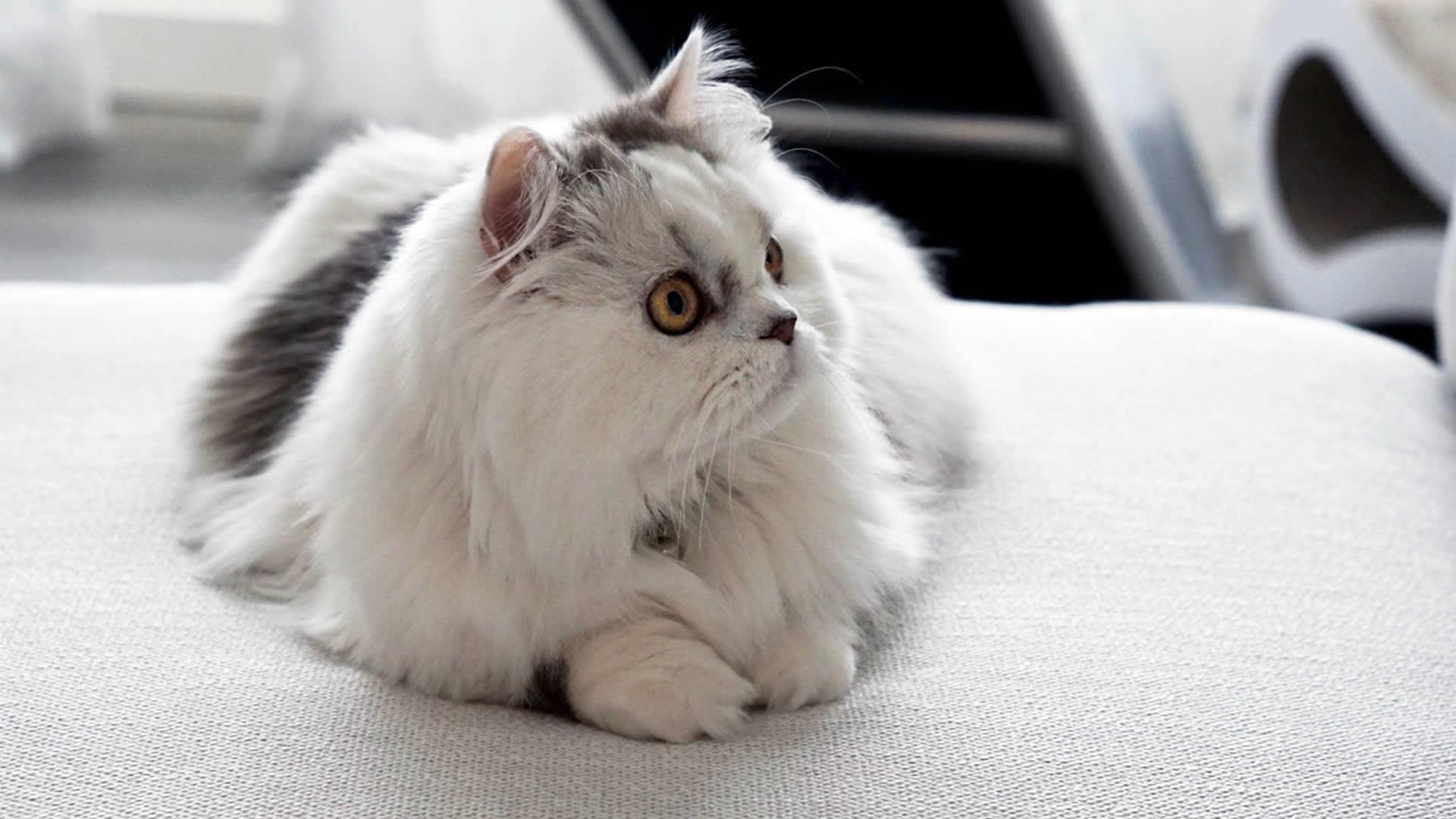 Long haired Minuet cat