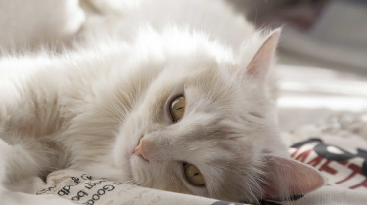 Why Do Cats Thump Their Tails When Lying Down