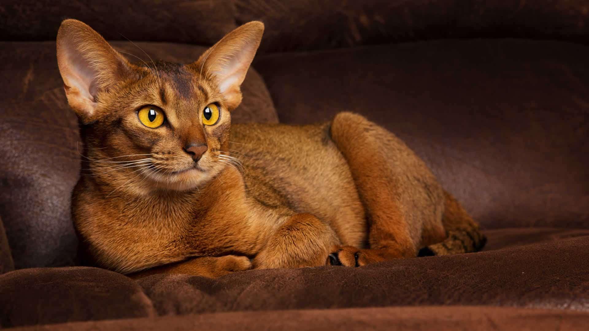 Orange Abyssinian Cat
