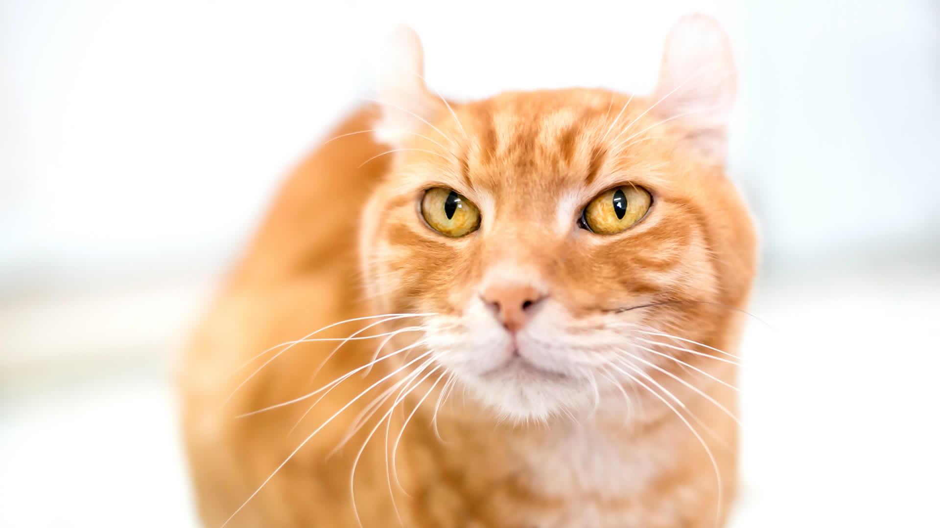 Orange American Curl Cat