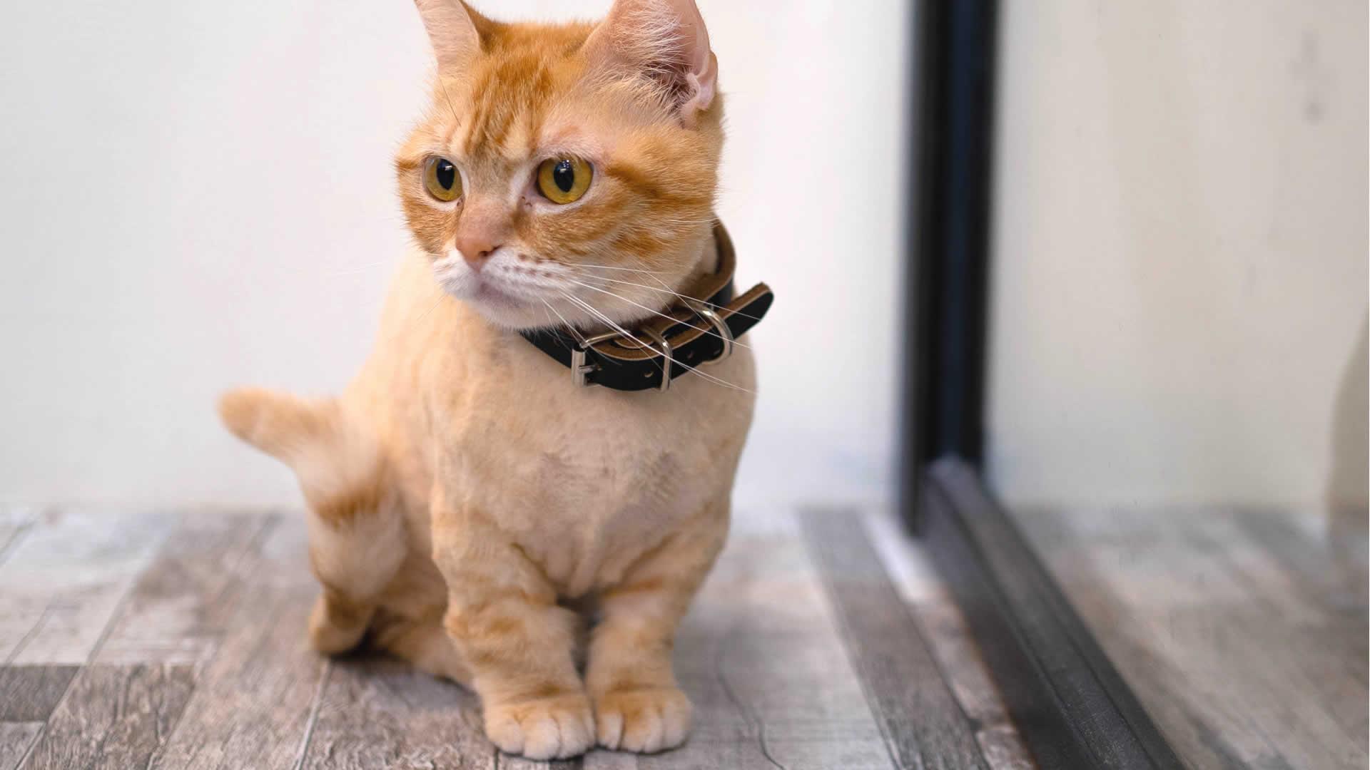 Orange Munchkin Cat