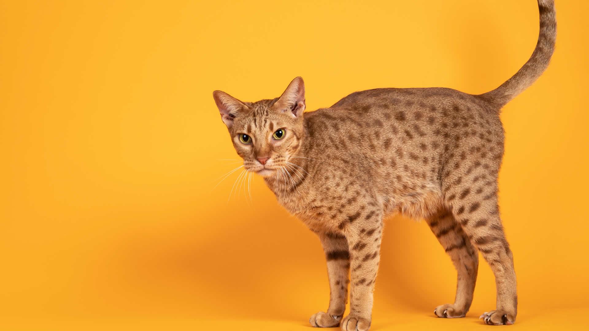 Orange Ocicat