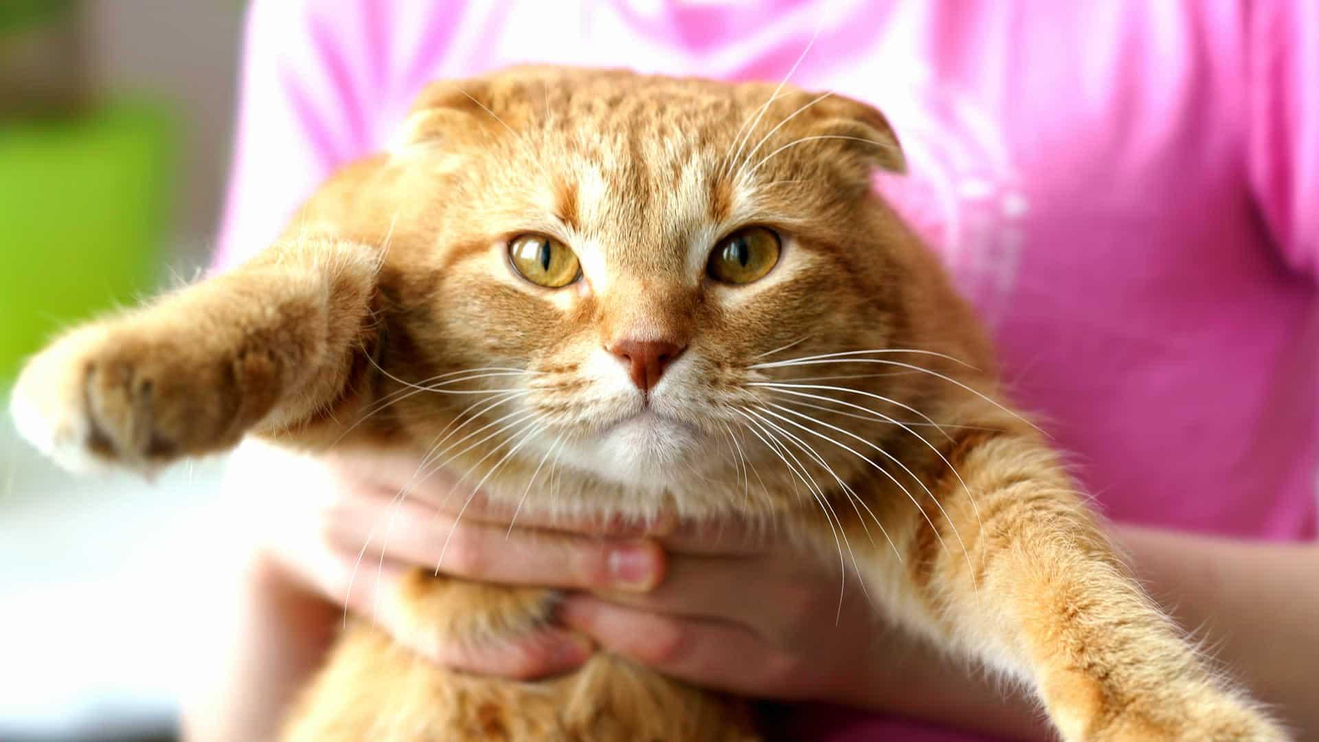 Orange Tabby Scottish Fold Cat