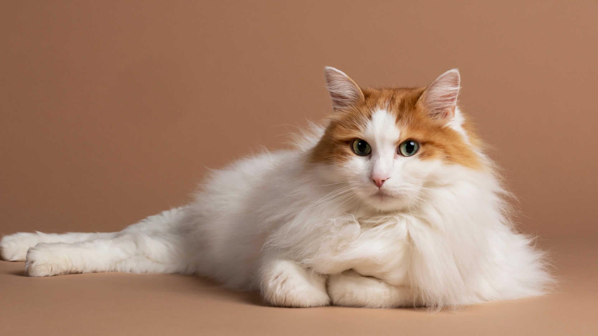 Orange White Turkish Angora Cat