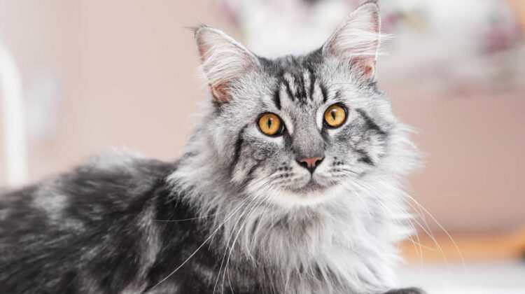 Best Cat Tree for Maine Coon