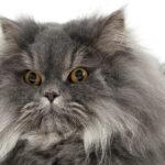 Flat Faced Cat Breeds