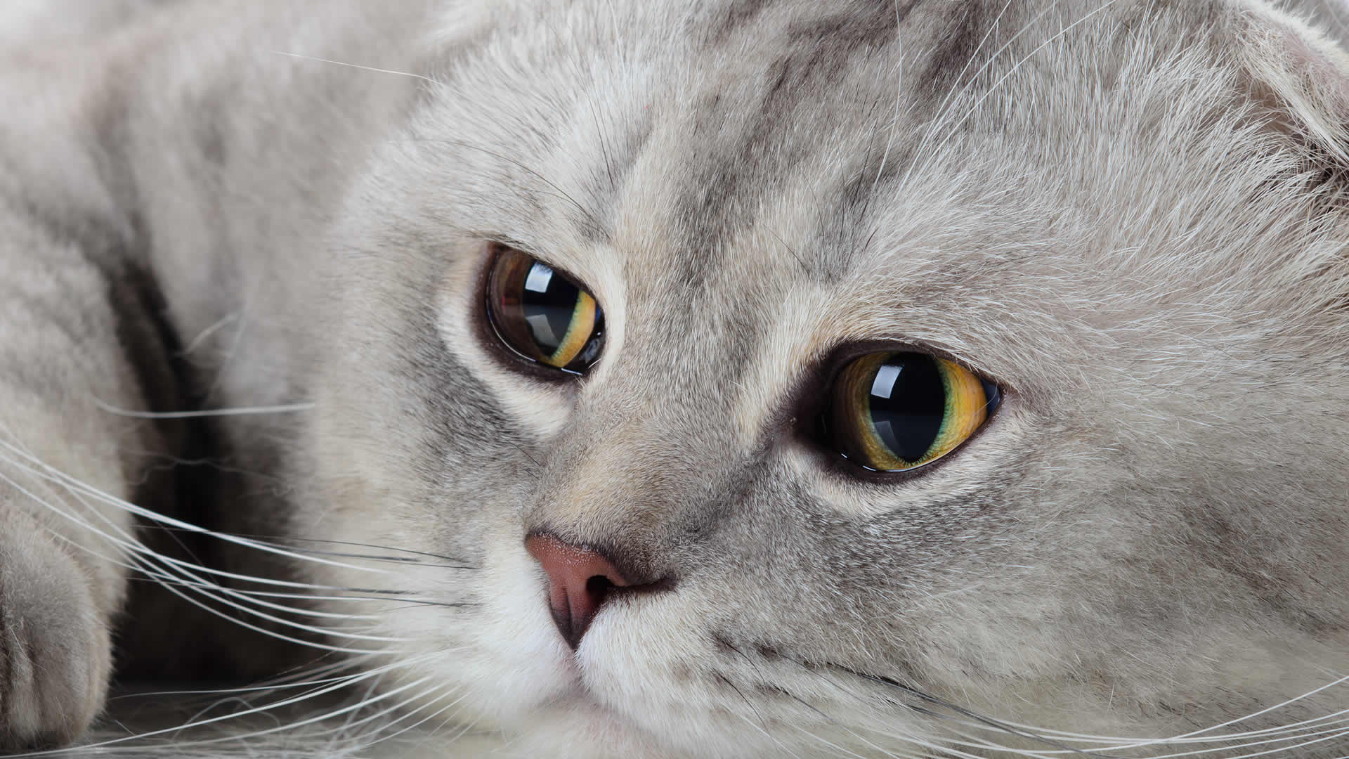 Flat face Scottish Fold with small ears