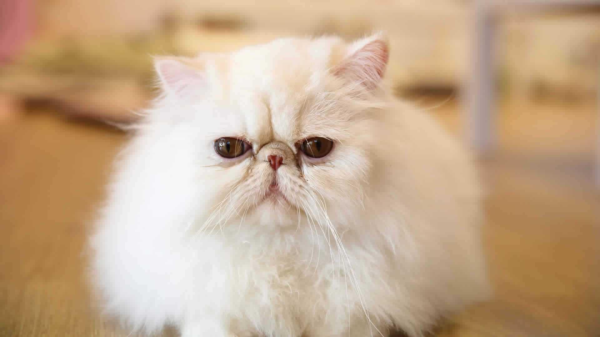 Flat faced Persian cat