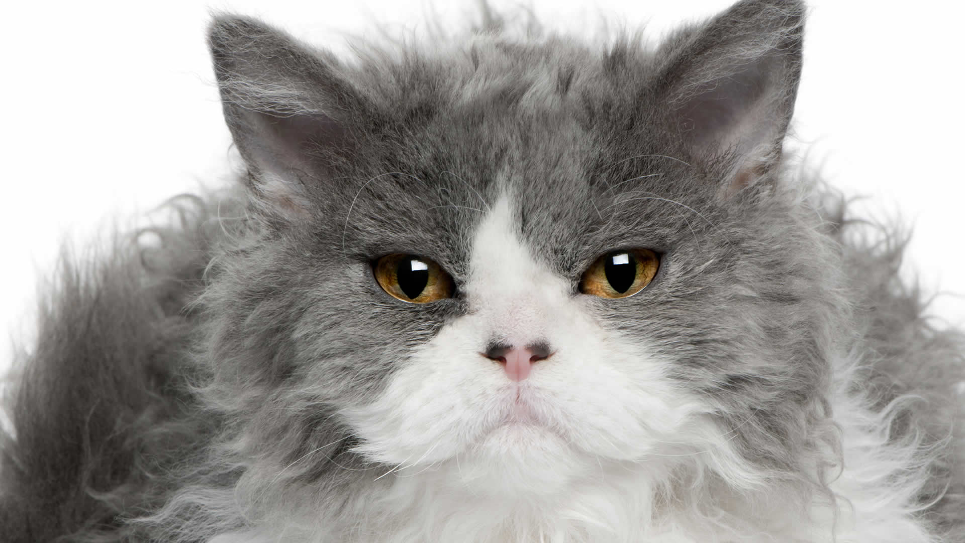 Flat faced and curly haired Selkirk Rex