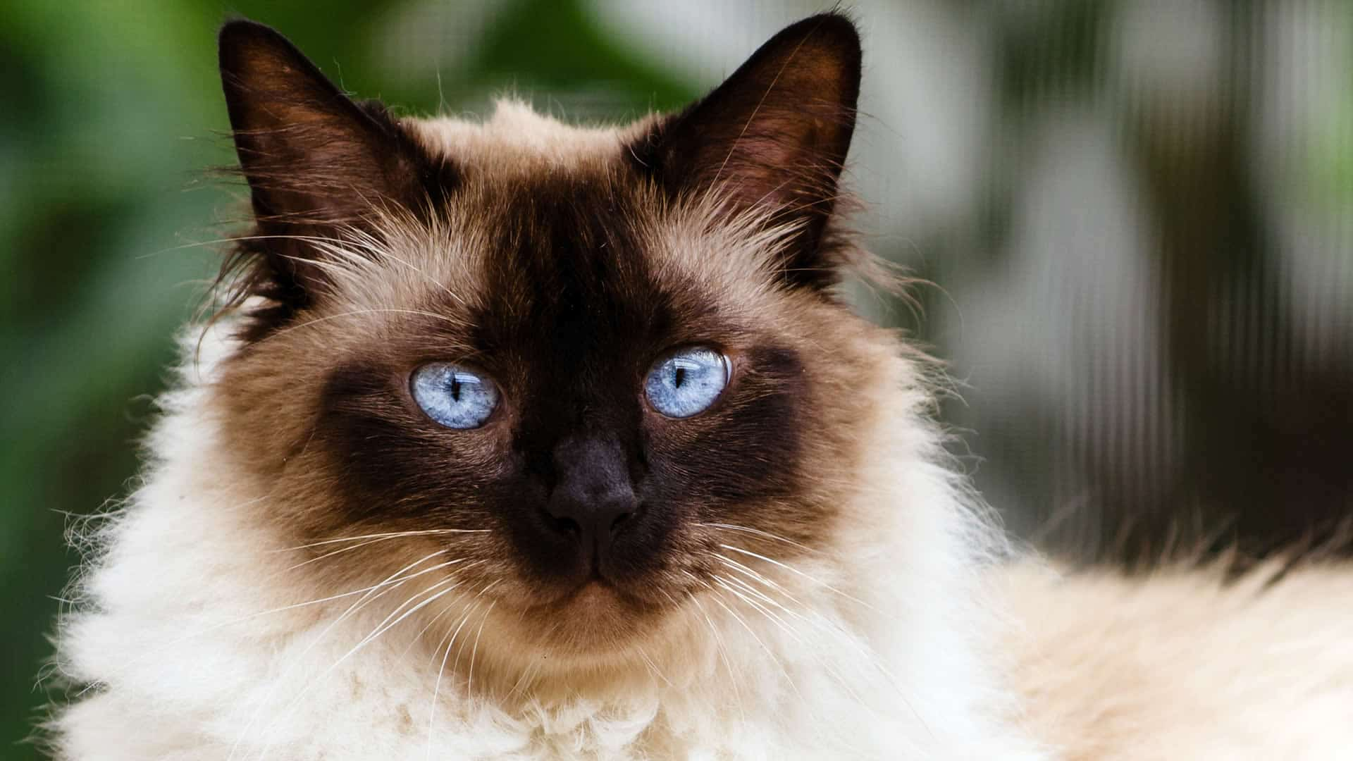 Himalayan cats are the result of crossbreeding flat-faced Persians with Siamese cats