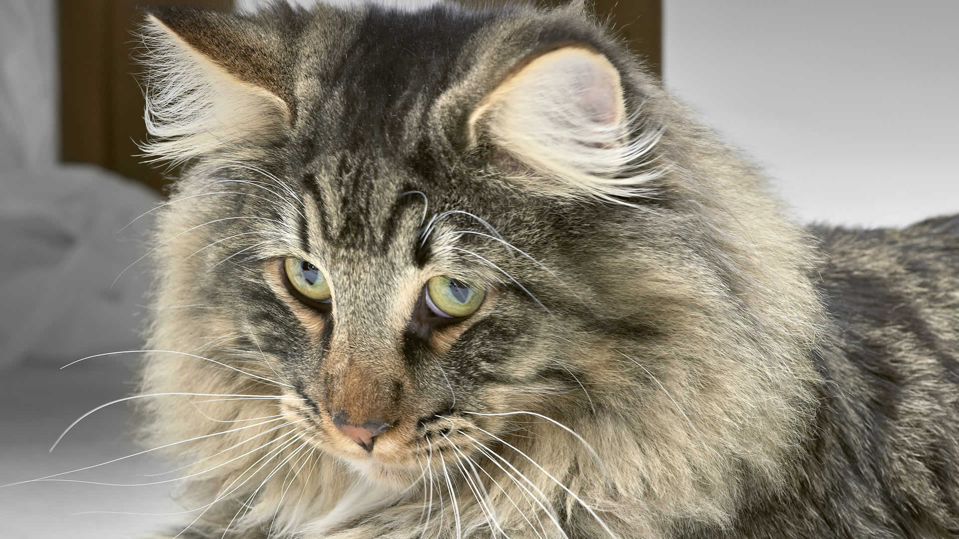 Almond-shaped eyes of Norweigan Forest Cats can be golden yellow