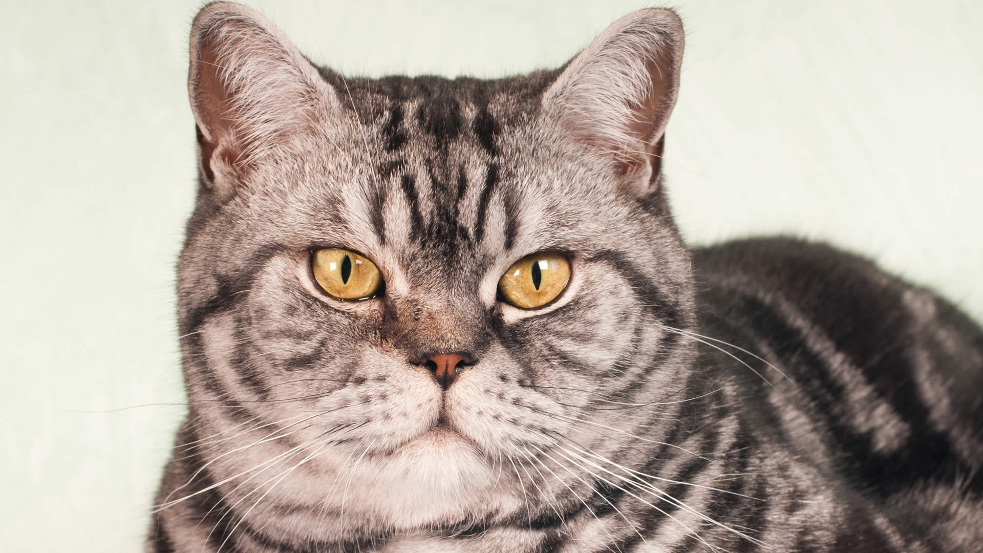 American shorthair with golden yellow eyes
