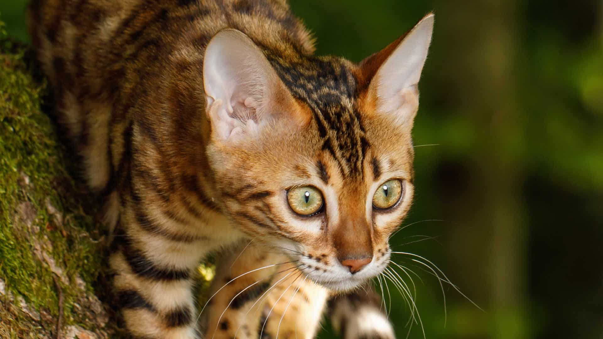 Bengals commonly have big yellow eyes reminiscent of big cats