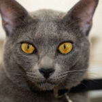 Cats With Yellow Eyes