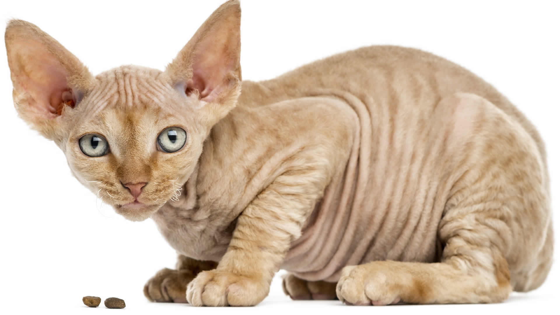 Devon Rex coat is short and wavy rather than curly